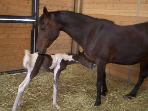My mare and her foal on the day of his birth