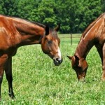 Why horses need animal companionship