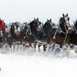Budweiser Clydesdale team favorite Christmas commercials